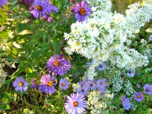 heath-and-new-england-aster