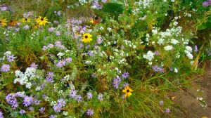 melange-of-asters