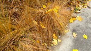prairie-dropseed-nov-2