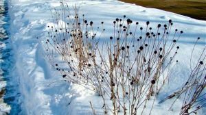 seed-heads-pcf-snow