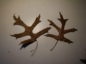 oak tree leaves middle