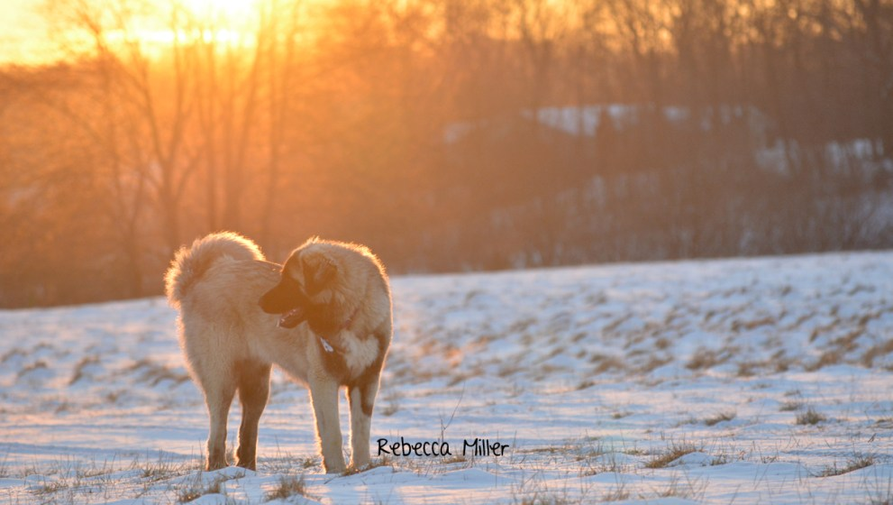 The value of a livestock guardian dog's intelligence