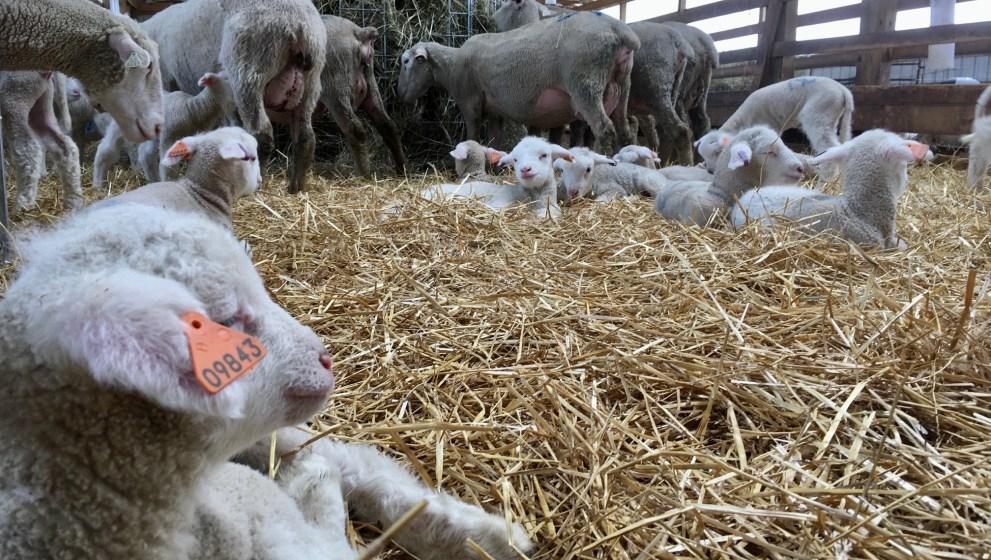 It's raining lambs