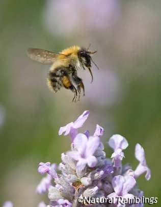 Bombus-pascorum-landing-on-lavender.nr