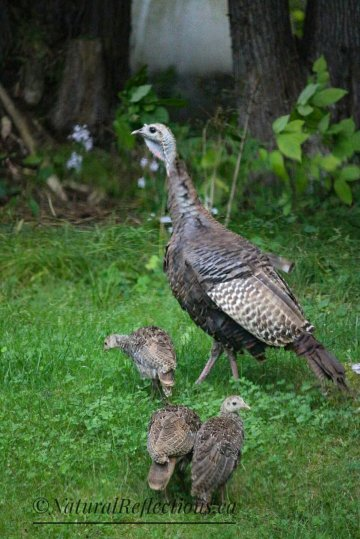 Momma turkey & chicks
