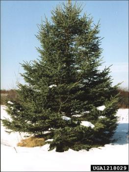 White Spruce Natural Resource Stewardship