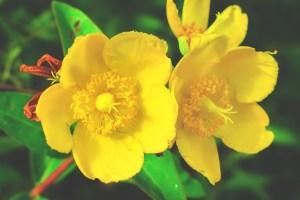 Johanniskraut hilft auch bei Frühjahrsmüdigkeit