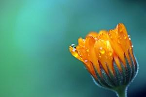 Ringelblume hat eine heilende Wirkung und hilft bei Marisken