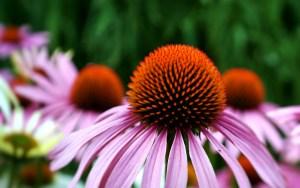 Echinacea purpurea - ein indianisches Wundermittel für das Immunsystem