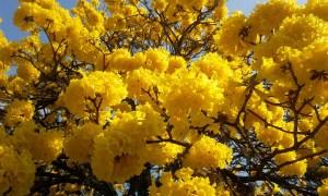 Lapacho stärkt das Immunsystem