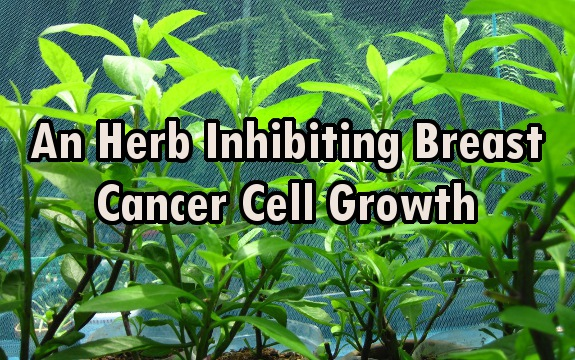 This Herb Naturally Halts Breast Cancer Development