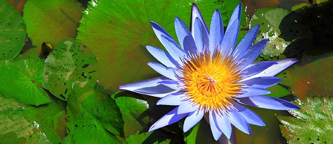 blue-lotus-flower-680
