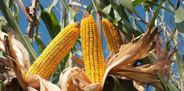 https://i1.wp.com/naturalsociety.com/wp-content/uploads/corn-crops-735-350.jpg