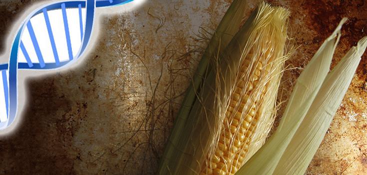 corn-maize-crop-dna-735-350