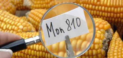 gmo-mon810-735-350