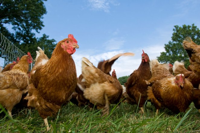 Which chickens are friendliest