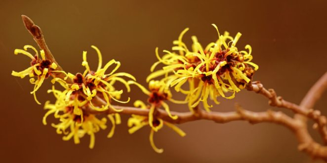 Top Natural Witch Hazel Uses for Skin and Health_Benefits