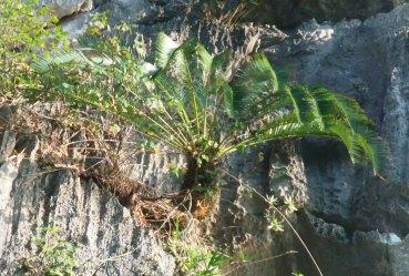 Cycas tropophylla