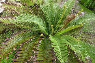 Blechnum cycadifolium