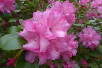 Rhododendron 'Merkur'