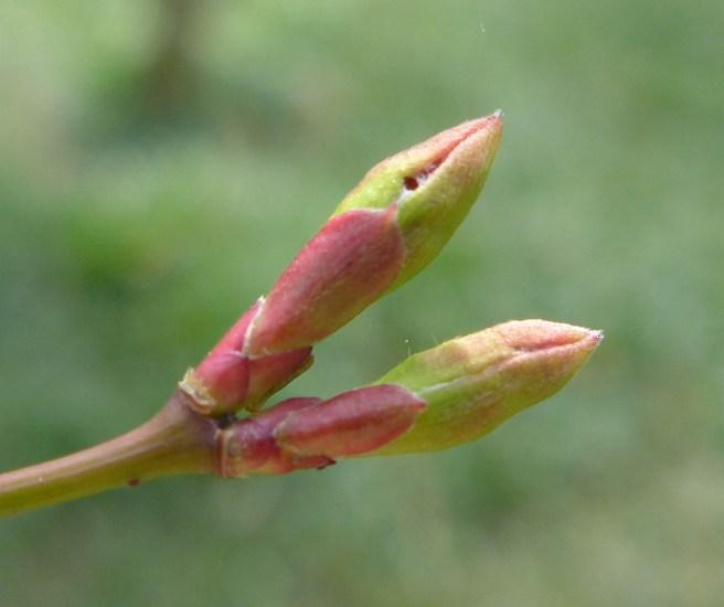 Acer palmatum 'Chitose-yama' (M)