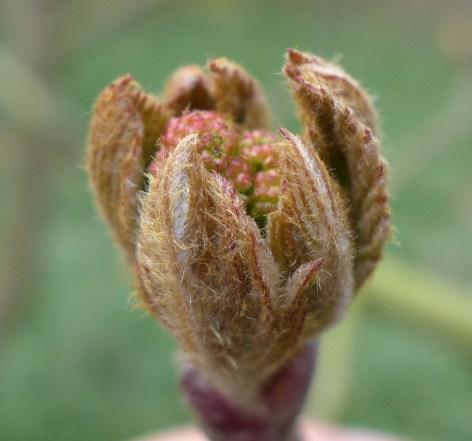 Sorbus scalaris (2)