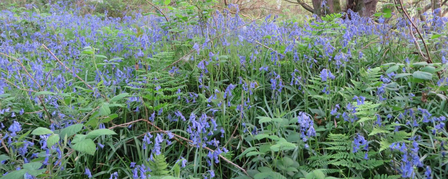 Bluebells and ferns