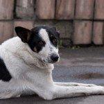 Собака з ДВРЗ