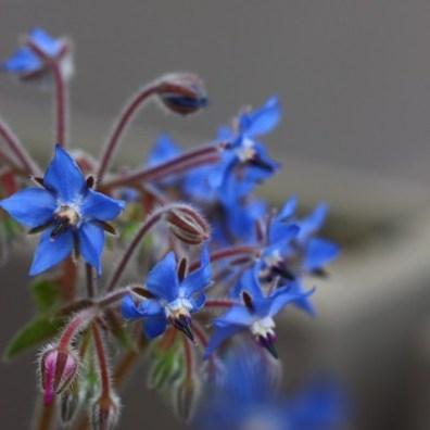 Fleurs-de-Bourrache