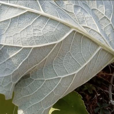 Bardane plante