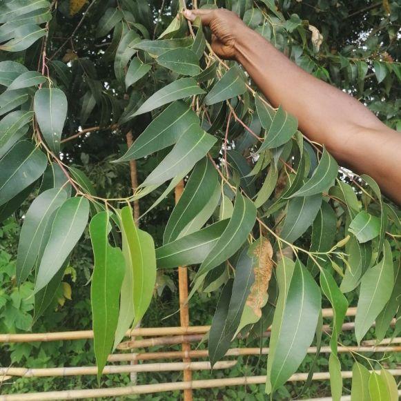 Eucalyptus globulus cameroun