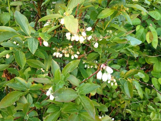 Myrtillier en fleurs