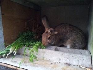 """Les lapins apprécient les """"mauvaises herbes"""""""