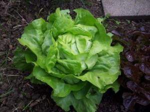 Salade appréciée avec modération par les limaces