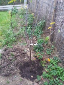 Un prunier au jardin parmi les autres arbres fruitiers