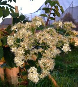 fleurs de sorbier