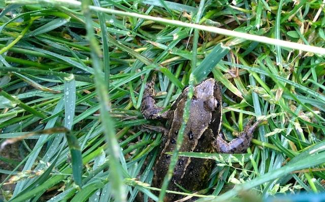 La grenouille : anti-limace bio