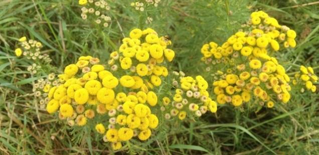Plante de Tanaisie