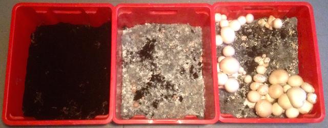 Différents stades de croissance de nos champignons