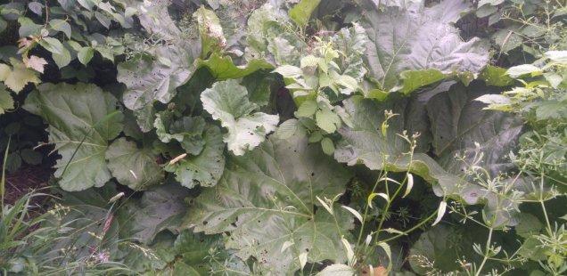 un plant de rhubarbe