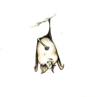 РИЖ - Малый подковонос (Rhinolophus hipposideros)