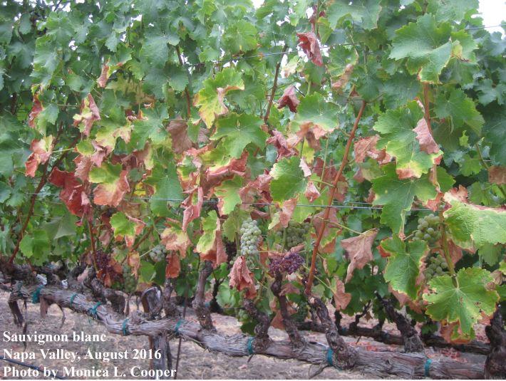 Sauvignon blanc with Pierce's disease symptoms August 2016, Napa Valley