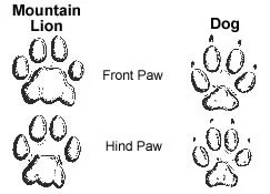 Comparison of mountain lion and dog tracks