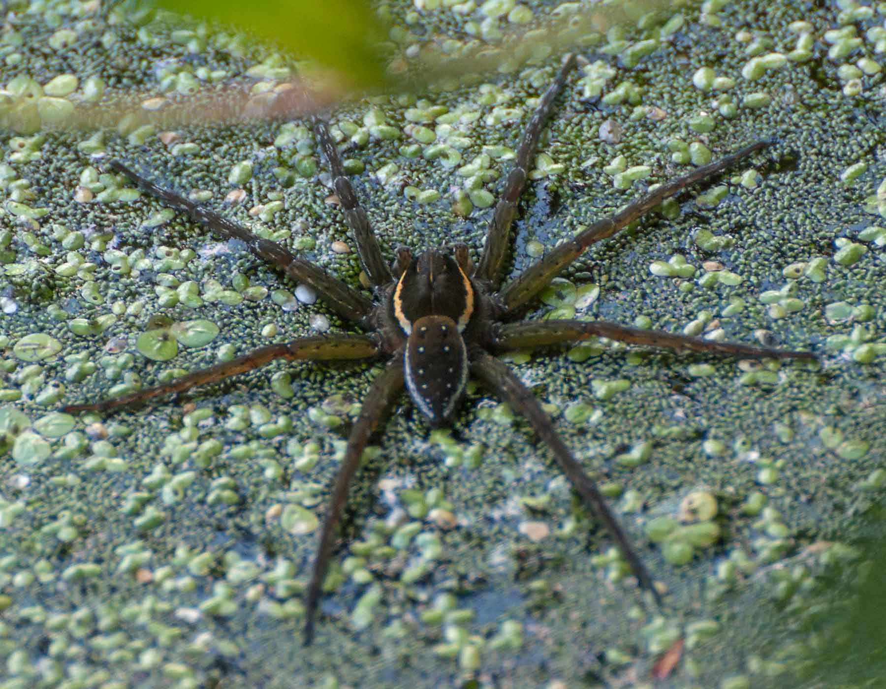 Aquatic Spiders Fishing Spiders Water Spiders Mdc