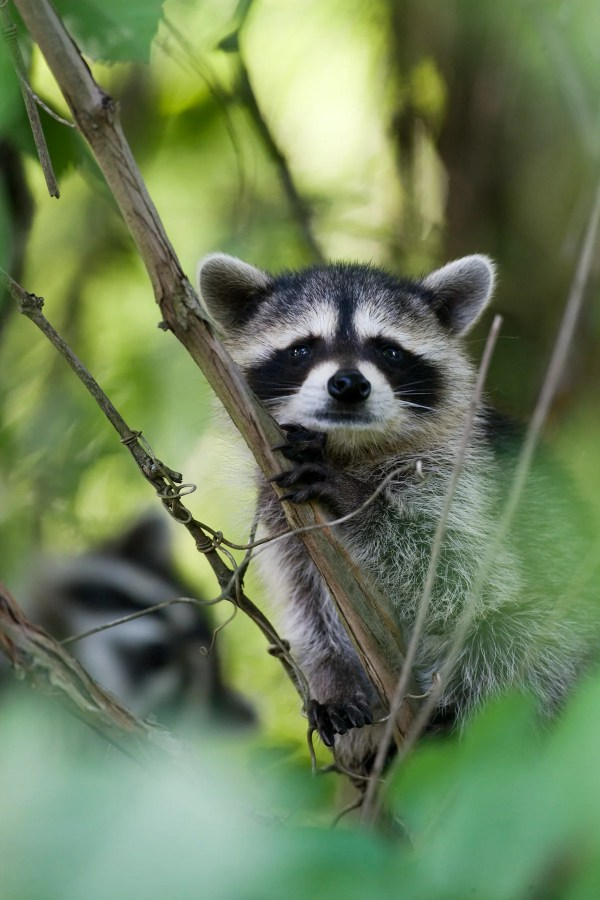 Raccoon | MDC Discover Nature