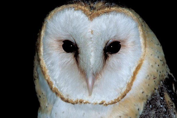 Barn Owl | MDC Discover Nature