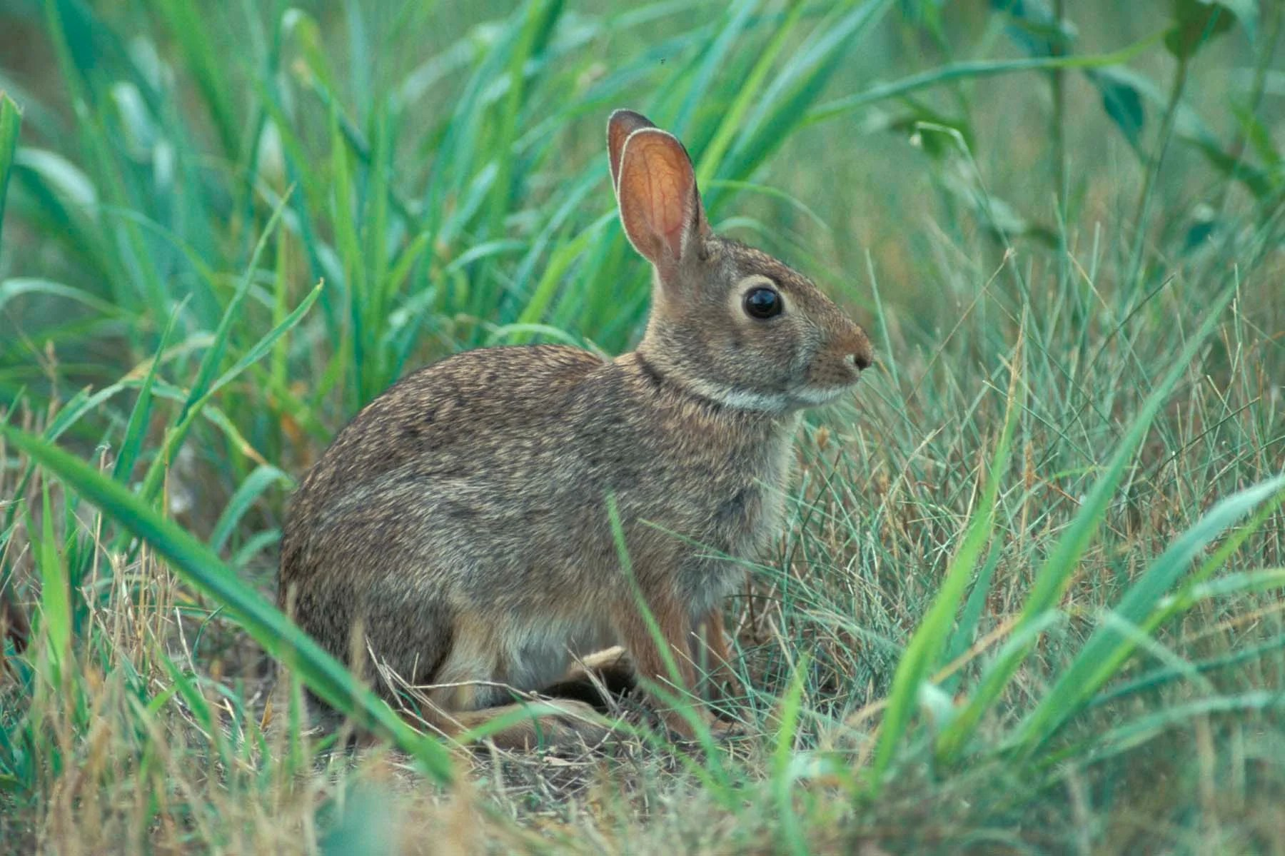 Eastern Cottontail Cottontail Rabbit Mdc Discover Nature