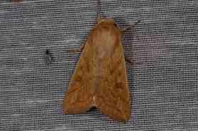 Chasse Aux Papillons - Amuré - 01-06-2012 - Aletia vitellina-1