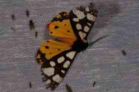 Chasse Aux Papillons - Amuré - 01-06-2012 - Arctia villica-2
