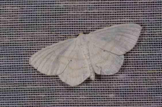 Chasse Aux Papillons - Amuré - 01-06-2012 - Cabera exanthemata-1
